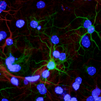 Neurons differentiated from adult olfactory bulb stem cells